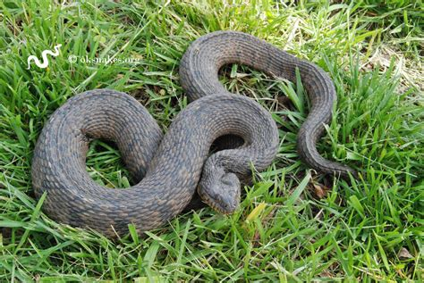 snake with zig zag pattern on back diamond backed watersnake