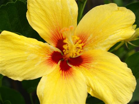 which state has a hibiscus hawaiian yellow hibiscus gallery