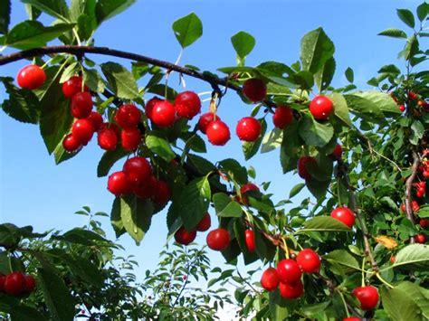 imagenes de flores que dan frutos 193 rboles frutales florpedia com
