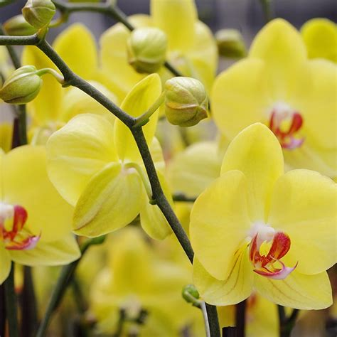 what causes orchids to lose their buds