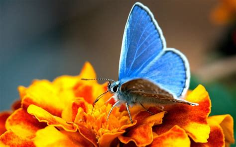 macro photography photo sharing site landscape macro photography blue butterfly wallpaper