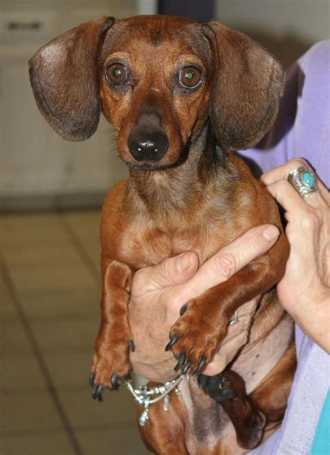 dachshund puppies tulsa 216 best images about dachshunds looking for a home on
