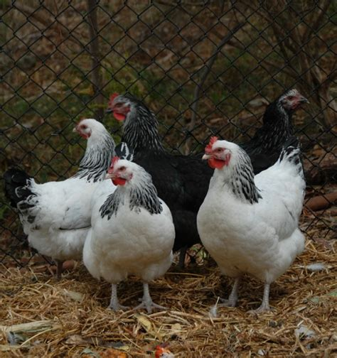 backyard chooks omg organic matter guidance gardendrum