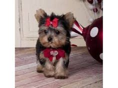 yorkies for sale in south dakota teacup yorkie puppy for sale in south dakota t cup yorkie puppies for sale