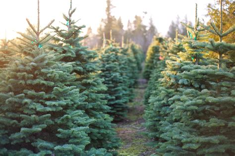as cold rolls in prepare your plants christmas tree tips