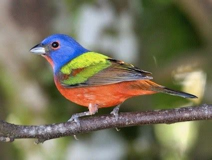 painted bunting, identification, all about birds cornell