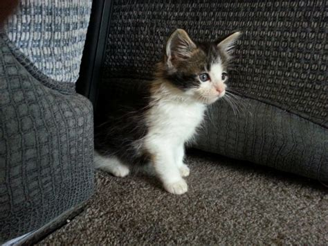 looking for cats and kittens for sale in chicago why not kittens looking for forever homes reading berkshire