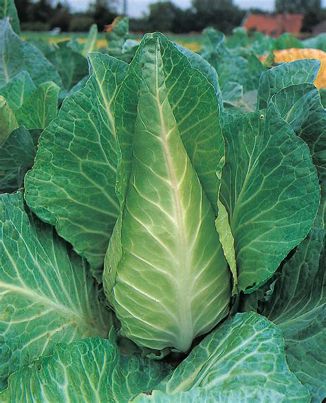 cabbage plants lookup beforebuying