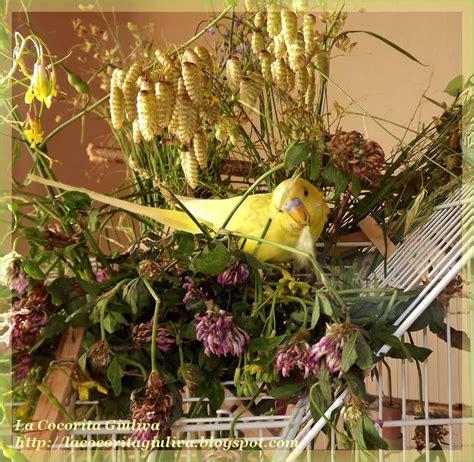pappagallini ondulati alimentazione la cocorita giuliva alimentazione degli ondulati nel