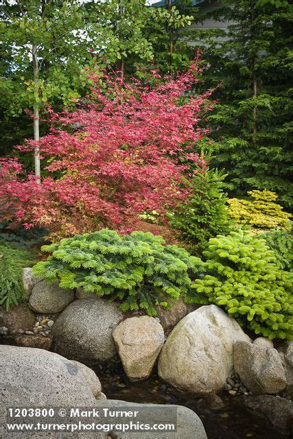 landscaping with maple trees 59 best images about japanese maple on trees japanese maple trees and