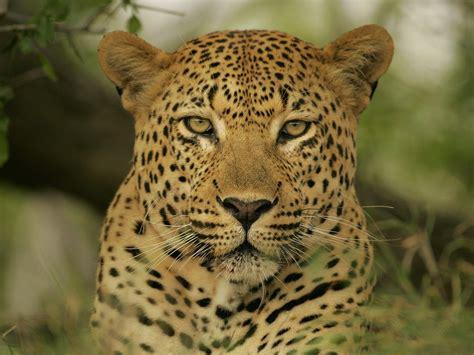 imagenes del jaguar animal fonditos el jaguar animales jaguares mascotas felinos