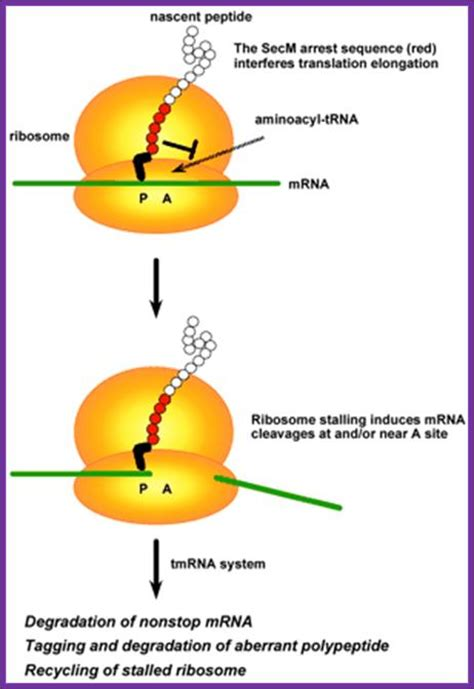 protein 7 synthesis 13