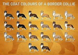 border collie colors border collie color chart border