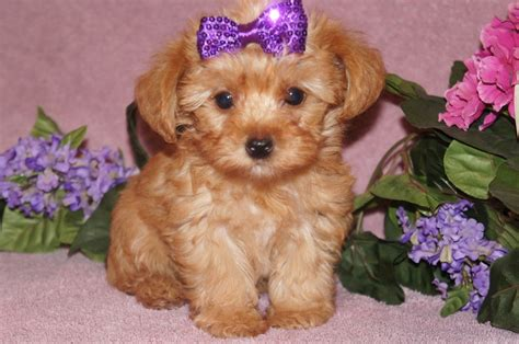 all about yorkie poos previous puppies