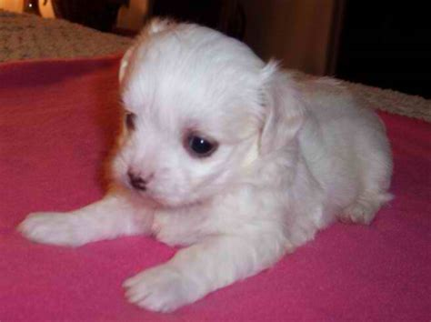 maltipoo puppies for sale in nc maltese purebred a k c puppies for sale in carolina
