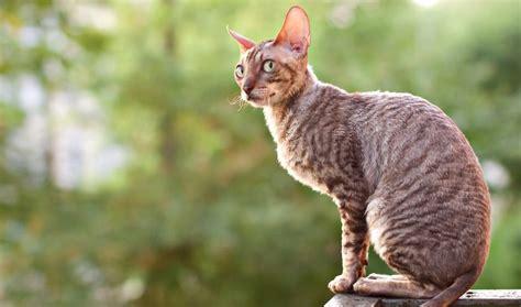 most loving breeds 9 most affectionate cat breeds
