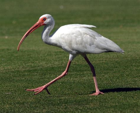 ibis the life of animals