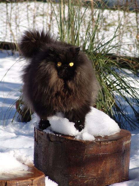 gatto delle nevi in the panchine il gatto delle nevi razze petpassion
