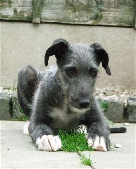 scottish deerhound puppies 15 best deerhound images on