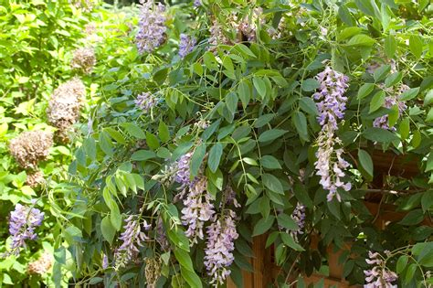 getting wisteria to bloomm care editions plants