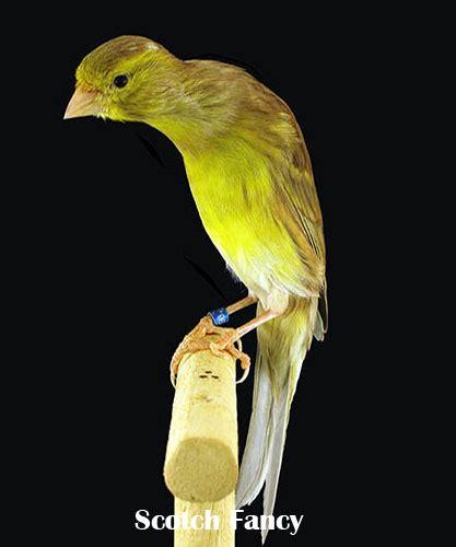 Harga Pakan Burung Fancy scotch fancy canary kicau burung