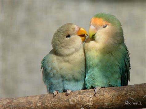 35 best images about african lovebird on pinterest love