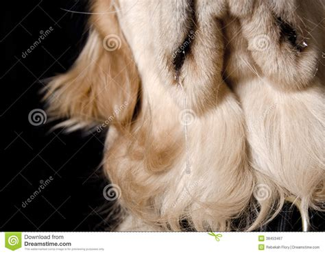 golden retriever drool slobber drool black background royalty free stock photography image 38453467