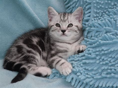 cats for sale plymouth stunning silver tabby kittens plymouth pets4homes