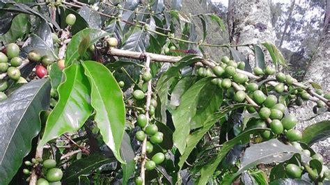 Teh Daun Afrika Curah kopi arabika jenis dan karakterstiknya alam tani