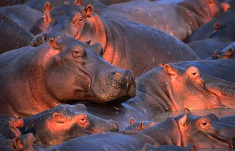Hippo Top 1 feast day of st augustine of hippo top 10 facts about