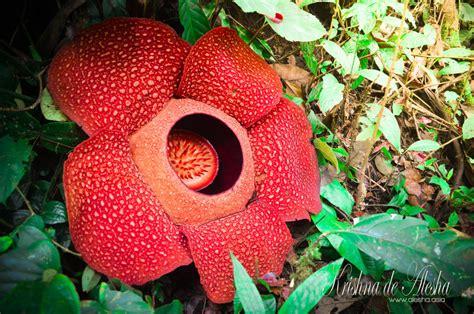 rafflesia arnoldii of bengkulu by thekriezhna on deviantart