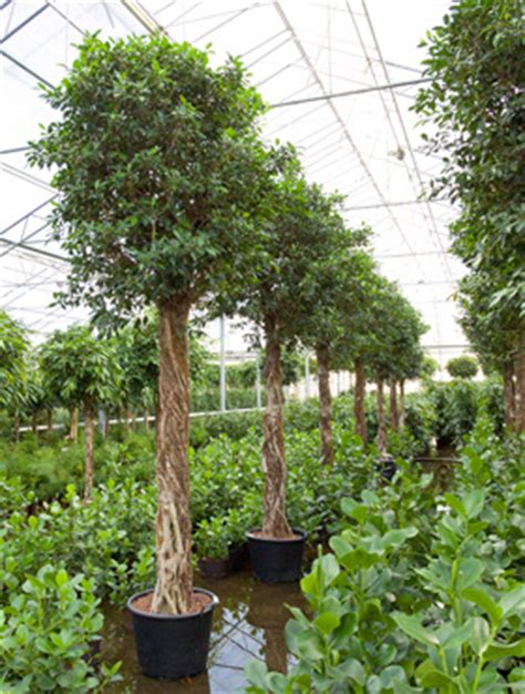 decorfolia interior landscapers brochure ficus