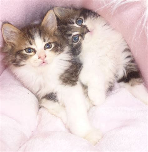 maine coon x ragdoll maine coon x ragdoll brighton east sussex pets4homes
