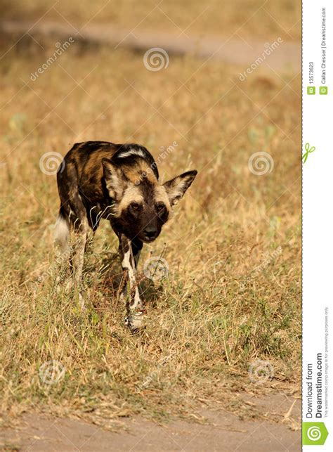 dogs in africa dogs in south africa stock photos image 13573623