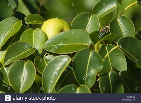 fruits of a poisonous tree poison apple hippomane mancinella green fruit on the