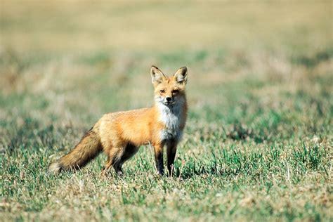 red fox in backyard how do predators impact quail populations missouri