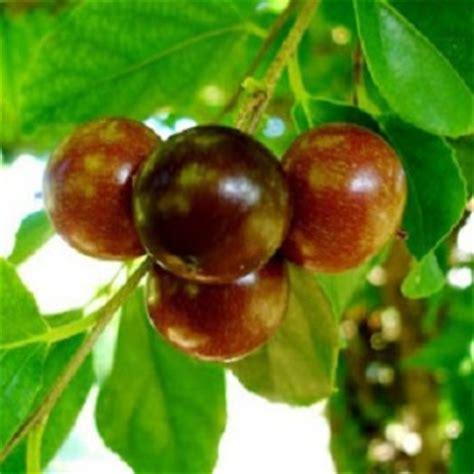Biji Benih Tanaman Buah Indian Jujube benih buah rukam indian prune
