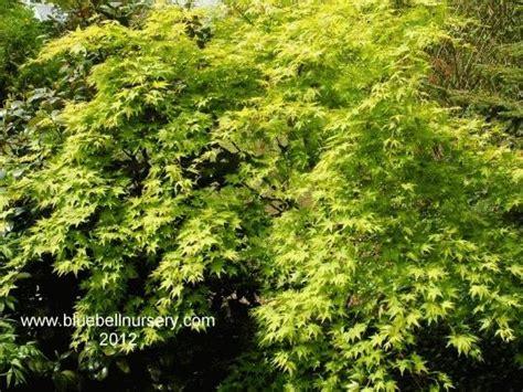 Vase Shaped Shrubs by Acer Palmatum Aureum Japanese Maple A And