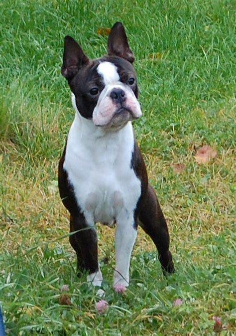 brindle boston terrier puppies best 25 brindle boston terrier ideas on boston terrier pups boston