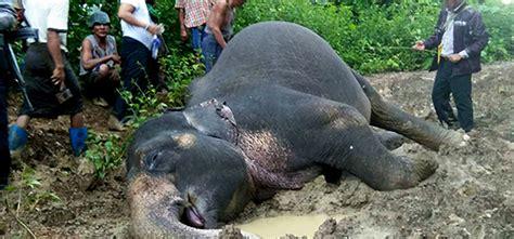 campaign targets myanmar elephant poaching