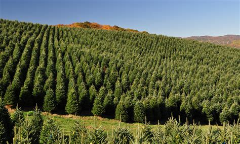 will tree farm wholesale tree farm powers tree farm