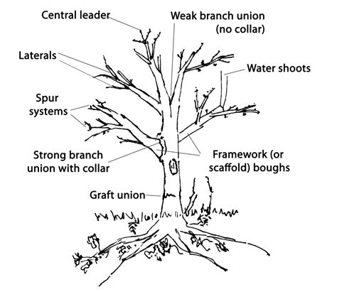 how to cut a tree diagram formative pruning trees peoples trust for endangered species
