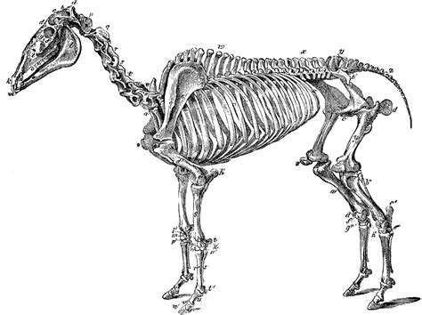 horse skeleton coloring page free coloring pages of horse skeleton