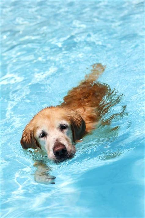 golden retriever in water waterproof synthetic collars by dublin dogs