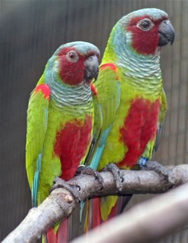 Kaos Burung Crimson Bellied Conure 98 best images about conures on green birds