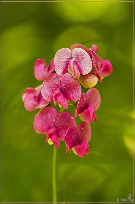 pisello odoroso fiore pisello odoroso 1