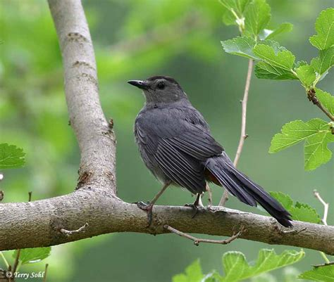 birds gray catbird