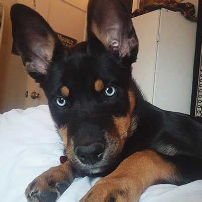 rottweiler mixed with husky the rottweiler husky mix rottsky much of a handful or the ideal mix