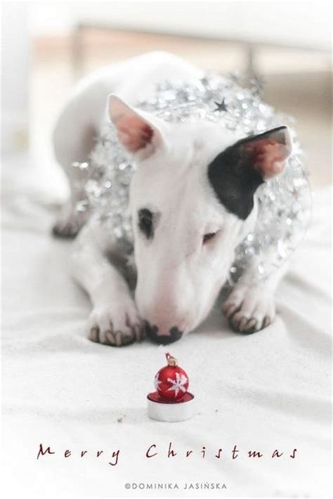 christmas bullie english bull terrier breed miniature bull terrier dogs english bull