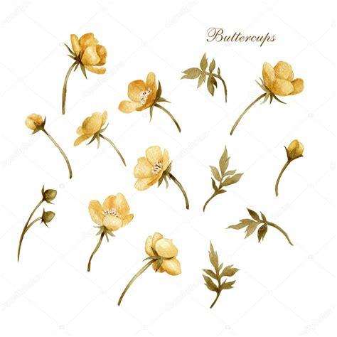 Buttercup Gold watercolor golden buttercup flowers stock photo